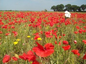 Poppies Norfolk-Tours